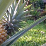 The pineapple is a nice addition even in the front yard