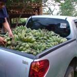 First Banana harvest, November 12, 2009
