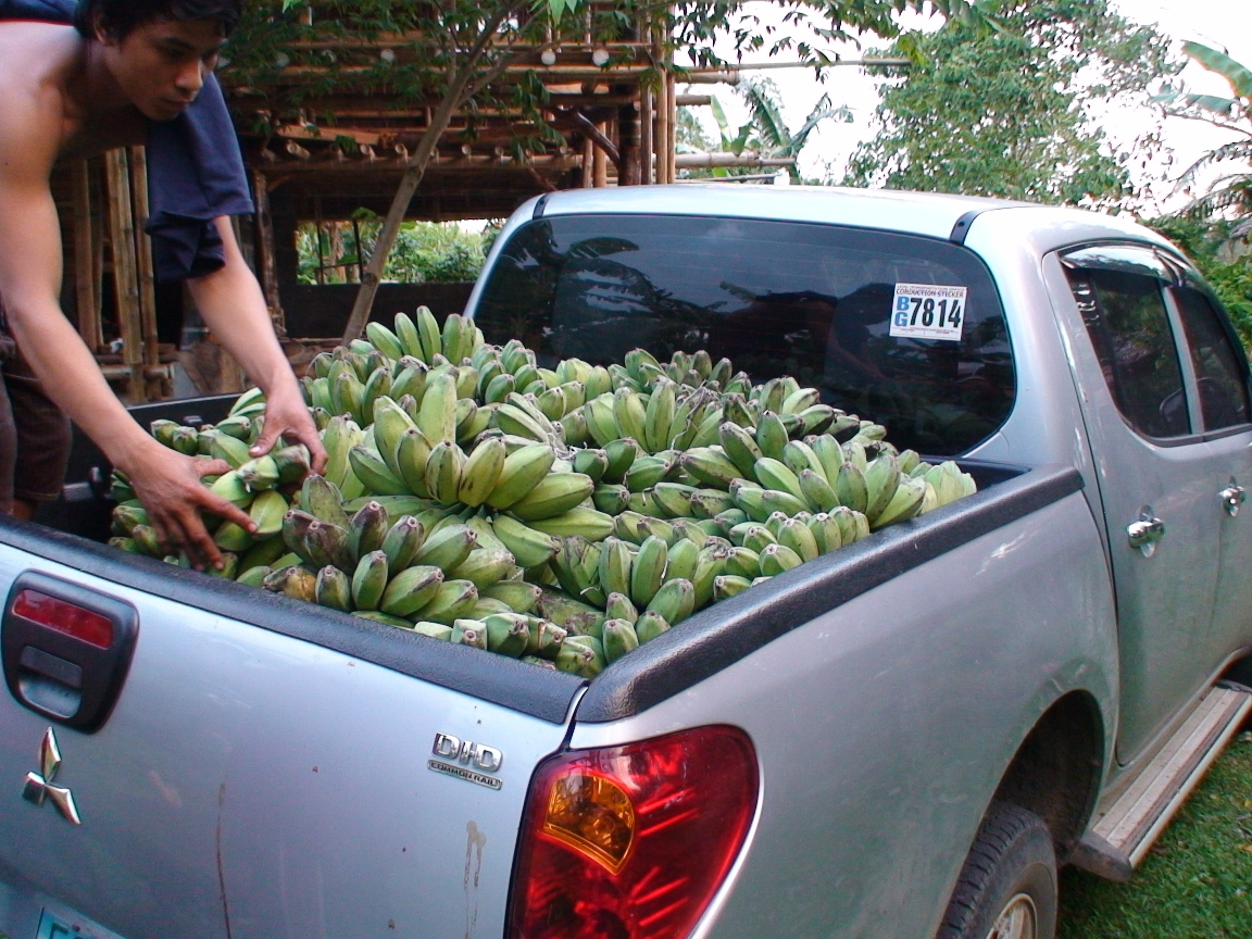 First Banana harvest, November 12, 2009
