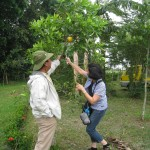 Fruit picking (Abiu)