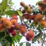 First bloom of our Rambutan by the Riverhouse, 2 years!