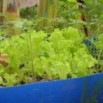 3 week old Lettuce in experimental growbed.