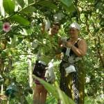 pruning guavas.