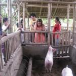 swine fattening